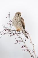 im Winter... Turmfalke *Falco tinnunculus* auf der Spitze eines Busches mit roten Beeren (Mehlbeere)