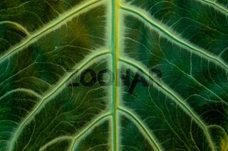 tropical banana leaf texture, large palm foliage nature dark green