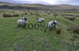 Black headed sheep with lambs: