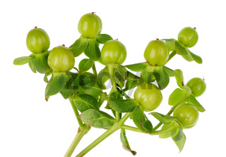This is a grassy plant with small green berries - Nightshade for decorating gift bouquets isolated