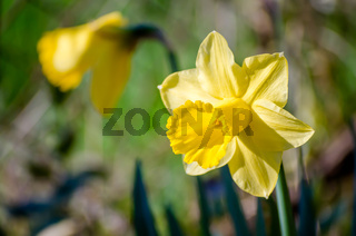 Yellow Narcissus - daffodil on a green background. Spring flower narcissus ( daffodil ), close-up.