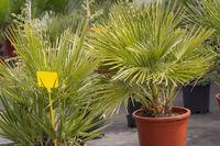 Palm leaves Chamaerops humilis fan palm