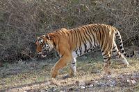 Tiger, Panthera Tigris, Bandipur National Park, Karnataka, India