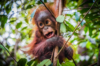 World's cutest baby orangutan hangs with mouth open