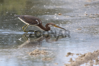 young tricolored heron that hunts for fish in shallow water