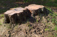 Two stumps of sawn birches