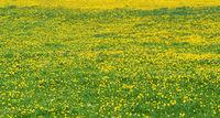 Üppig blühende, gelb grüne Blumenwiese