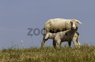 Mutterschaf mit Lamm auf dem Deich
