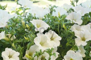 White petunia flowers in the sun
