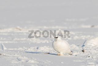 Svalbard Rock ptarmigan, Lagopus muta hyperborea, bird with winter plumage, in the snow at Svalbard