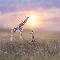 Two giraffes in grassland