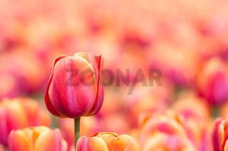 Orange tulip with selective focus