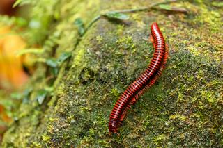Rainforest millipede Madagascar wildlife and wilderness