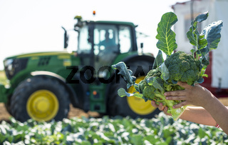 Worker shows broccoli on plantation. Picking broccoli. Tractor and automated platform in broccoli big garden.
