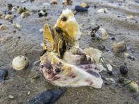Austern und Muscheln am Strand.