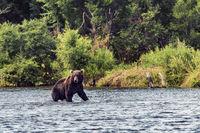 Bear in Kamchatka. A brown bear in the water in Kamchatka, Russia