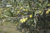 Grüne Oliven an einem Olivenbaum