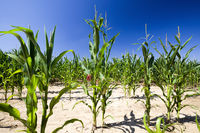 poorly grown sweet corn in the agricultural field
