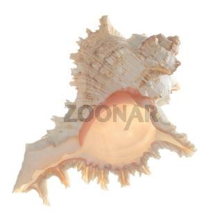 freigestellte Meeresmuschel
