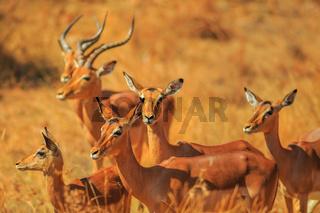 Group of Impala