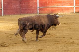 Bullfighting entertainment bullfight, Spanish brave bull in a bullring. the animal is brown and has very sharp horns