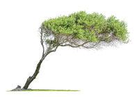 Tilted  eucalyptus tree