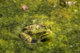 Green frog in the water full of frogspawn