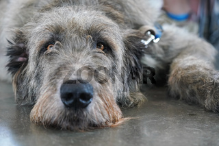 Scottish deerhound dog laying on stone floor indoors, looking bored tired