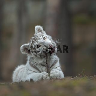 Knabberspass... Königstiger *Panthera tigris*