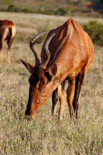 Close up of a Red Hartebeest eating grass