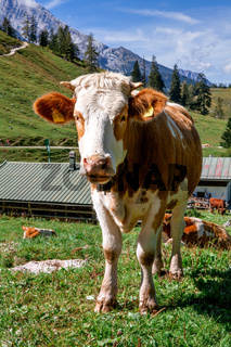 Germany, Bavaria: Funny Alpine cow near the Konigssee lake (Berchtesgadener Land)