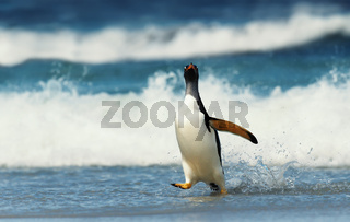 Gentoo penguin walking on a beach by a stormy Atlantic ocean.