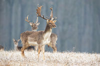 Fallow deer stag standing on a meadow in freezing cold looking aside.