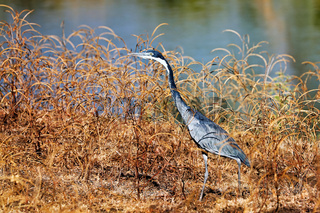 Schwarzhalsreiher, South Luangwa Nationalpark, Sambia, (Ardea melanocephala)  |  black-headed heron, South Luangwa NP, Zambia, (Ardea melanocephala)