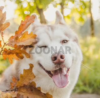 Husky portrait. Young husky dog for a walk in the park in autumn. Husky breed. Light fluffy dog. Walk with the dog. Dog on a leash. A pet