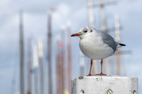 Black-headed gull on a mooring in the harbor