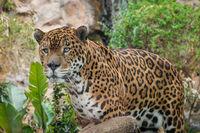panther / jaguar closeup - (Panthera Onca) -
