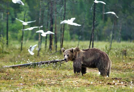 Eurasian Brown bear in the swamp