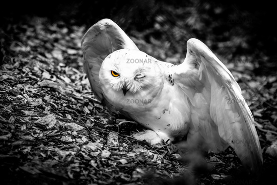 Halfblind snow owl - observing