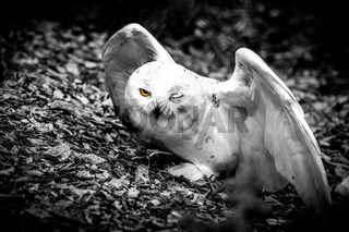 Halfblind snow owl - observing