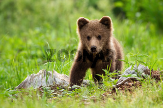 An adorable little brown bear cub posing in the meadow