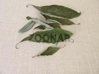 Getrocknete Avocadoblätter vom Avocado Baum
