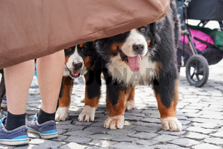 Two Bernese Mountain Dogs standing on cobblestone sidewalk, heads hidden behind piece of cloth, owner legs near