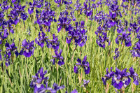 Flowers blue irises in a garden