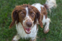 Young, playful springer spaniel excitedly waiting to play fetch.