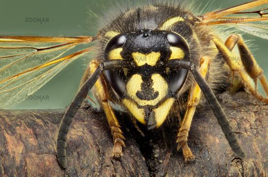 extreme macro image of a common wasp Vespula Vulgaris