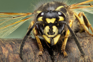 extreme macro image of a common wasp Vespula Vulgaris