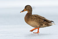 Female dabbling duck walking on ice winter with one leg in the air.