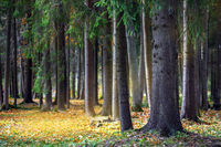 Autumn Forest of Spruce Trees