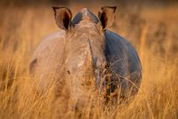 White rhino standing in the high grass.